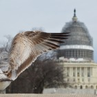 A Seagul spreading wings open just before flight on the reflecting pool of Capitol Hill  Photo : Aziz Ahmed