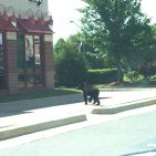 A bear spotted near Arby's restaurant in Leesburg . Photo Credit Leesburg Police Department taken on June 13, 2016