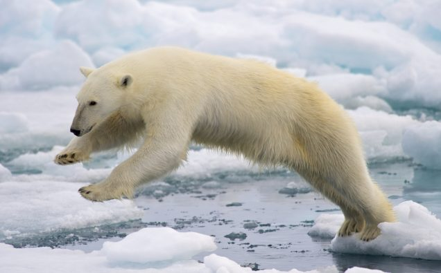 A frame-filling portrait of a male polar bear (Ursus maritimus) jumping in the pack ice. The young male, probably due to a mix of curiosity and hunger, got really close to our ship - less than 20 meters. Svalbard, Norway. By Arturo de Frias Marques (Own work) [CC BY-SA 4.0 (https://creativecommons.org/licenses/by-sa/4.0)], via Wikimedia Commons
