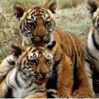 Tiger Cubs, Photo: UN